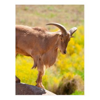 Barbary sheep postcard