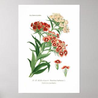 Barbatus del clavel (Guillermo dulce) Impresiones