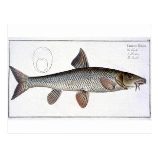 Barbel (Cyprinus Barbus) plate XVIII from 'Ichthyo Postcard