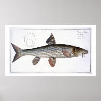 Barbel (Cyprinus Barbus) plate XVIII from 'Ichthyo Poster