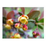 Barberry Flowers Post Cards