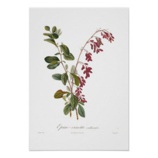 Barberry Posters