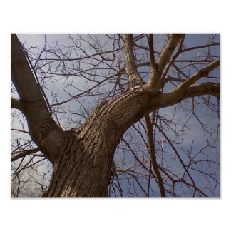 Bare cottonwood tree climbs into the sky poster