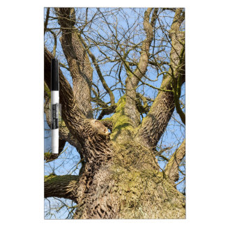 Bare leafless oak tree bottom view with blue sky i dry erase board