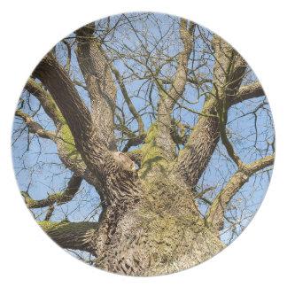 Bare leafless oak tree bottom view with blue sky i plate