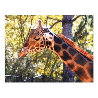 Baringo Giraffe Postcard