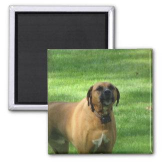Barking Boxer Dog Magnet Fridge Magnets
