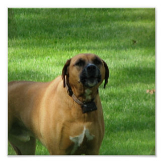 Barking Boxer Dog Poster
