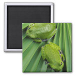 Barking Tree Frog (hyla gratiosa) 2 Inch Square Magnet