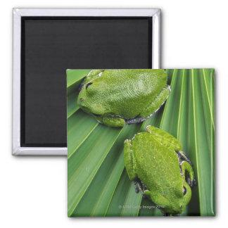 Barking Tree Frog (hyla gratiosa) 2 Inch Square Magnet