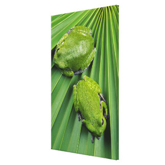 Barking Tree Frog (hyla gratiosa) Gallery Wrapped Canvas