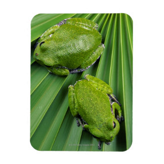 Barking Tree Frog (hyla gratiosa) Rectangular Photo Magnet