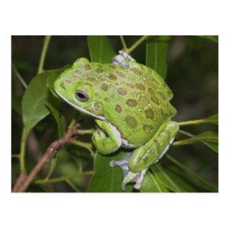 Barking Tree Frog - Postcard