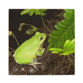Barking treefrog on limb with resurrection wooden coaster