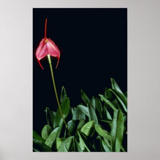 Barleana (Masdevallia) flowers Poster