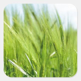 barley-897 pegatina cuadrada