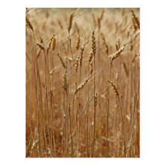 Barley Field Postcard