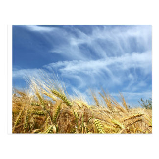 Barley Postcard