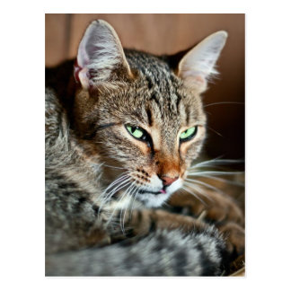 barn cat watchful postcard