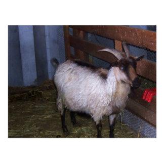 Barn Goat 4 Postcard