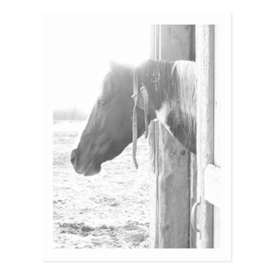 Barn Horse in Black and White Photography Postcard