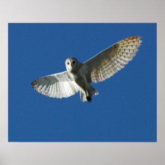 Barn Owl in Daytime Flight Poster