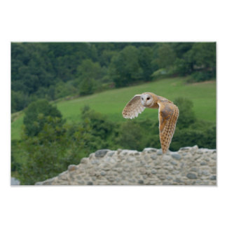 Barn Owl in flight Poster