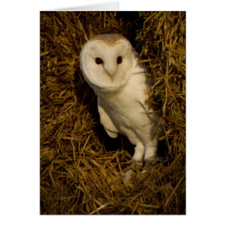 Barn Owl in Straw Bales Card