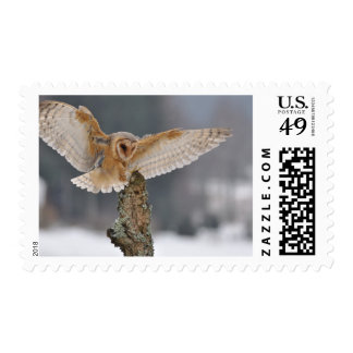 Barn owl landing to spike postage