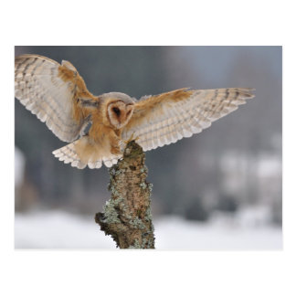 Barn owl landing to spike postcard