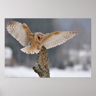 Barn owl landing to spike poster