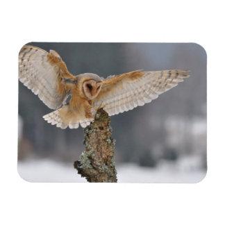 Barn owl landing to spike rectangular photo magnet