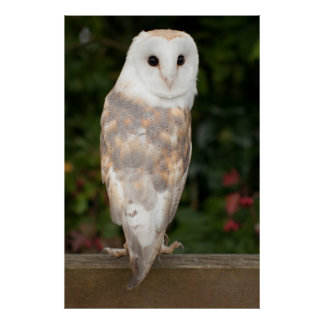 Barn owl looking over the shoulder poster