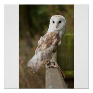Barn Owl on a fence Poster
