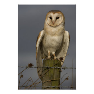 Barn Owl Posters
