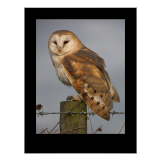 Barn Owl (Tyto alba). Poster by cARTerART
