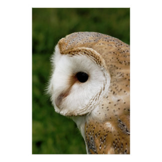 BARN OWLS POSTER