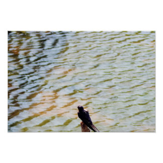 Barn Swallow by the Water Poster