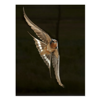 Barn Swallow in flight Postcard