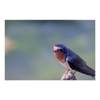 Barn Swallow Photo Poster