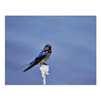 Barn swallow postcard