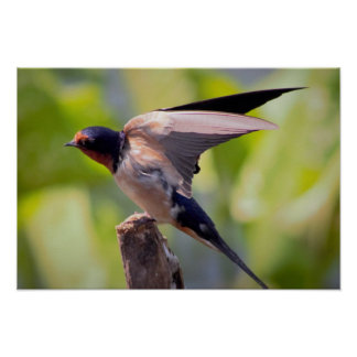 Barn Swallow Speading it's Wings Poster