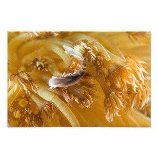 Barra de mar en anémona amarilla cojinete