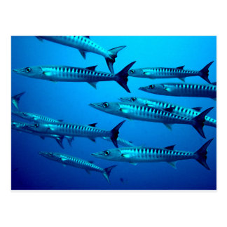 barracuda dive deep sea ocean water tropical wave postcard