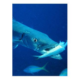 Barracuda eating its prey postcard