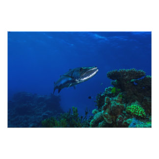 """""""Barracuda on the Great Barrier Reef"""" Photo Print"""