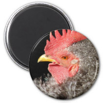 Barred Frizzle Rooster Magnet