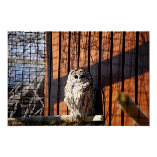 Barred (Hoot) Owl Print