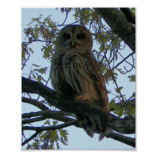 Barred Owl (close-up) Posters
