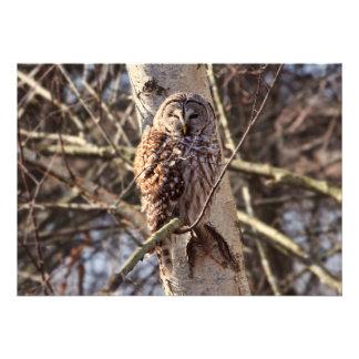 Barred Owl in a Birch Tree Photo Invitation